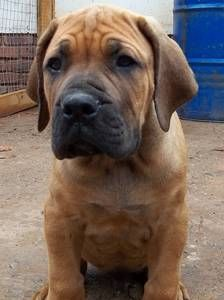 Boerboel Who Would Look At This Face And Not Want One Too Cute Pet Dogs Puppies Beautiful Dogs South African Mastiff