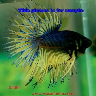Rare Betta Fish Betta If It Was Really Exotic
