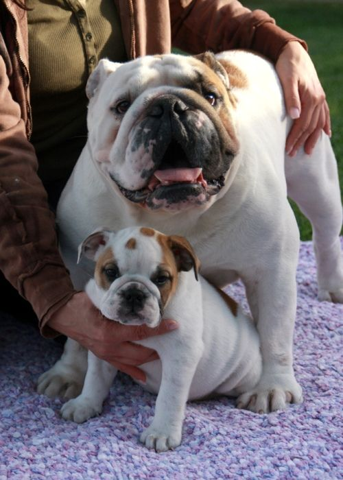 I M So Proud Of My Boy Baby Animals Bulldog Puppies Cute Animals