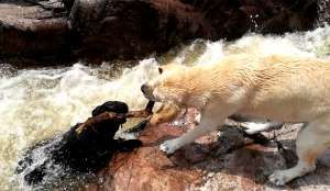 Watch this hero dog rescue his doggie pal from being swept away by river rapids - ViralHog