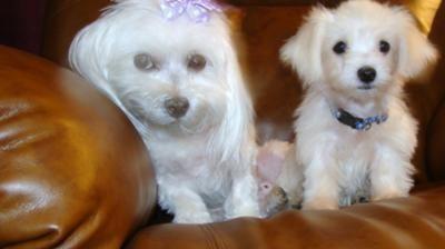 Free Maltese Dogs From Breeder Maltese Puppy Maltese Maltese Dogs