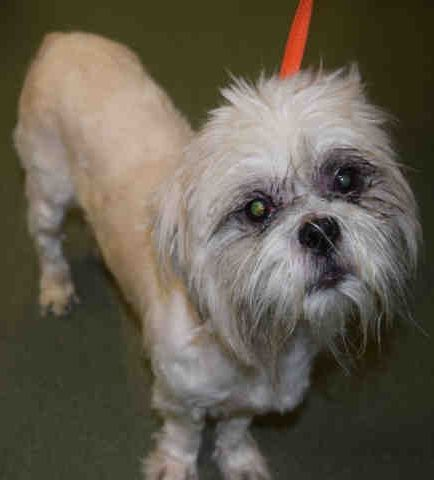 Manhattan Center DUMONT – A1093733  MALE, WHITE / TAN, SHIH TZU MIX, 5 yrs STRAY – STRAY WAIT, HOLD FOR EVENT Reason STRAY Intake condition EXAM REQ Intake Date 10/17/2016  http://nycdogs.urgentpodr.org/dumont-a1093733/