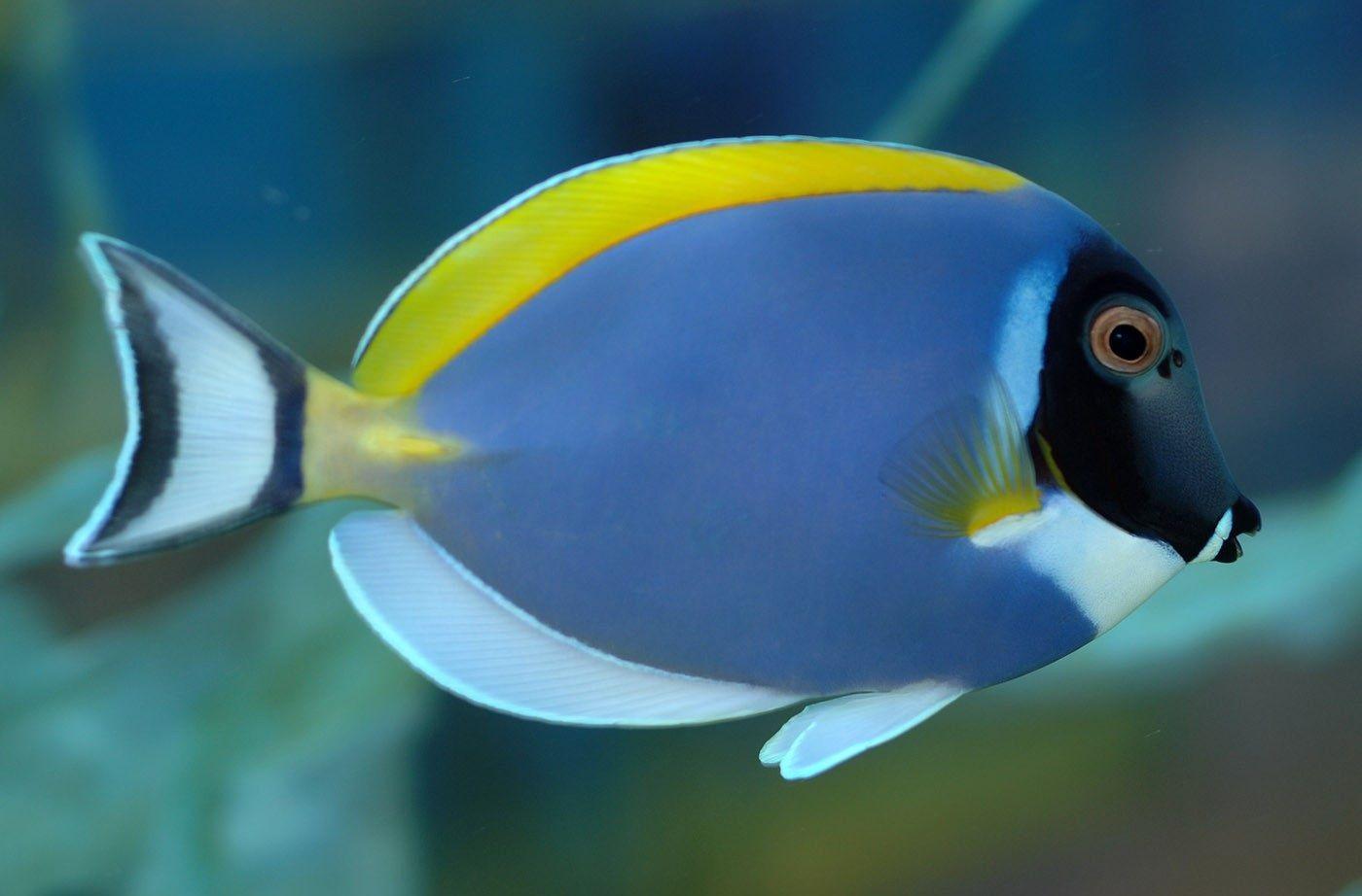 Tang Fish Tropical Freshwater Fish Saltwater Fish Tanks Sea Fish