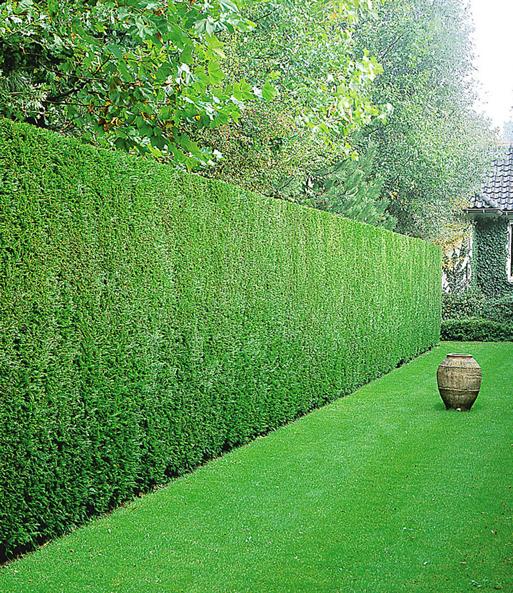 Google Ergebnis Fur Https Www Baldur Garten De Medias Sys Master Root H78 Ha1 8952384127006 Jpg Hedges Landscaping Leyland Cypress Garden Hedges