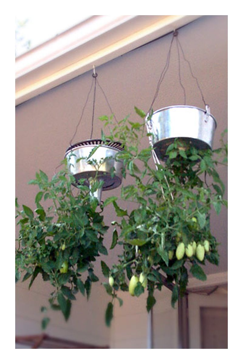 Faire Pousser Tomates En Pot easy ways in growing tomatoes in pots (various techniques