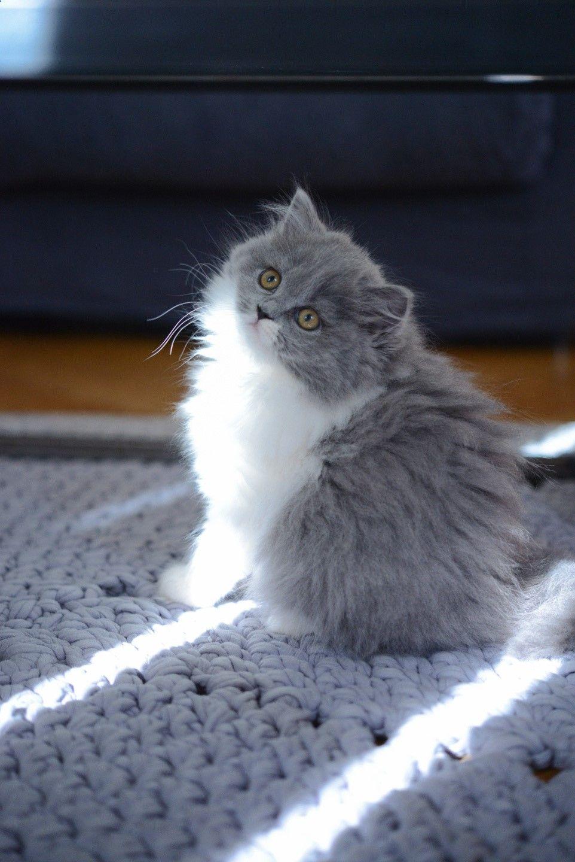 Mon parcours de maman chat. Chaton british longhair des