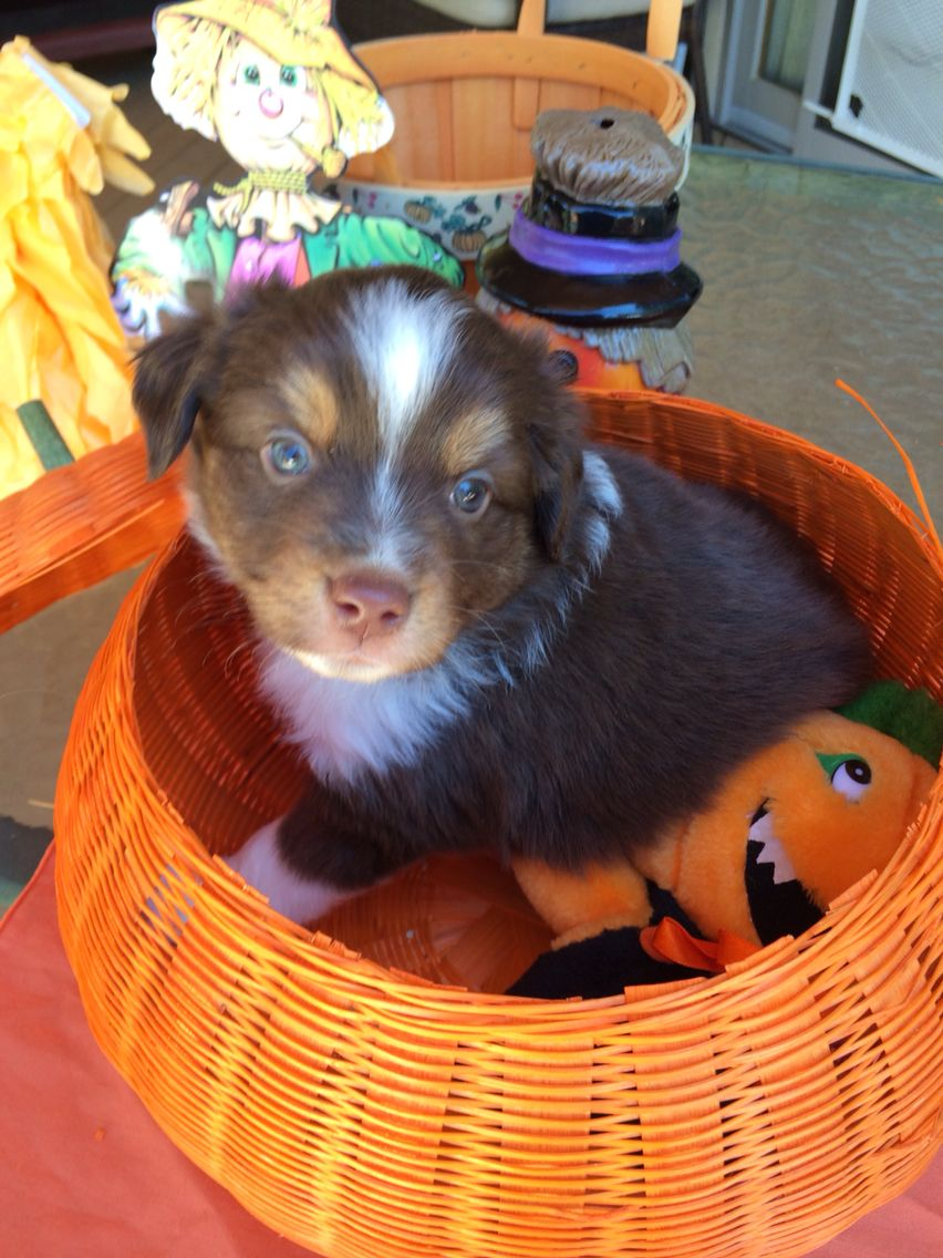 5 weeks Brown tri male 850 Miniature australian shepherd