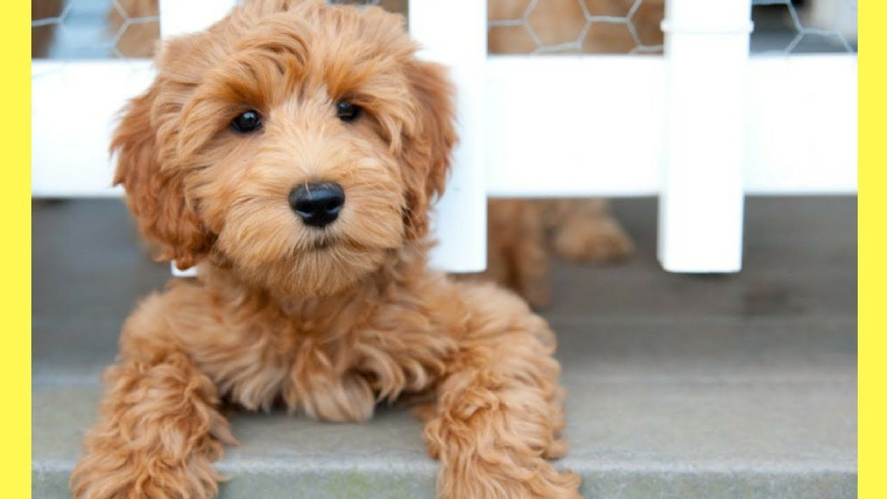 Top 10 Best Medium Dogs That Don T Shed Amazing Dog Breeds Labradoodle Puppy Australian Labradoodle Puppies Australian Labradoodle