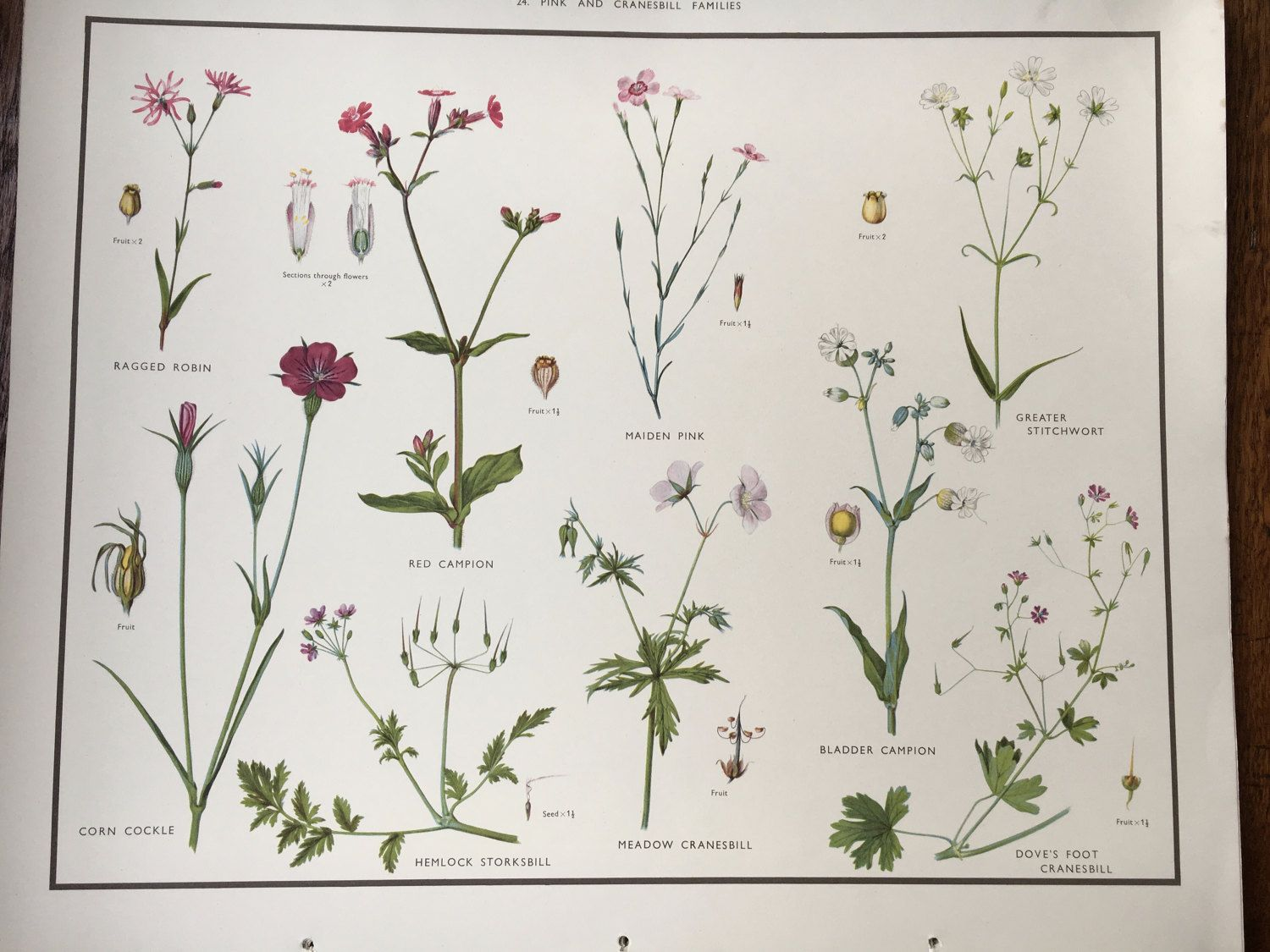 Vintage us school poster pinks u cranesbill flora educational