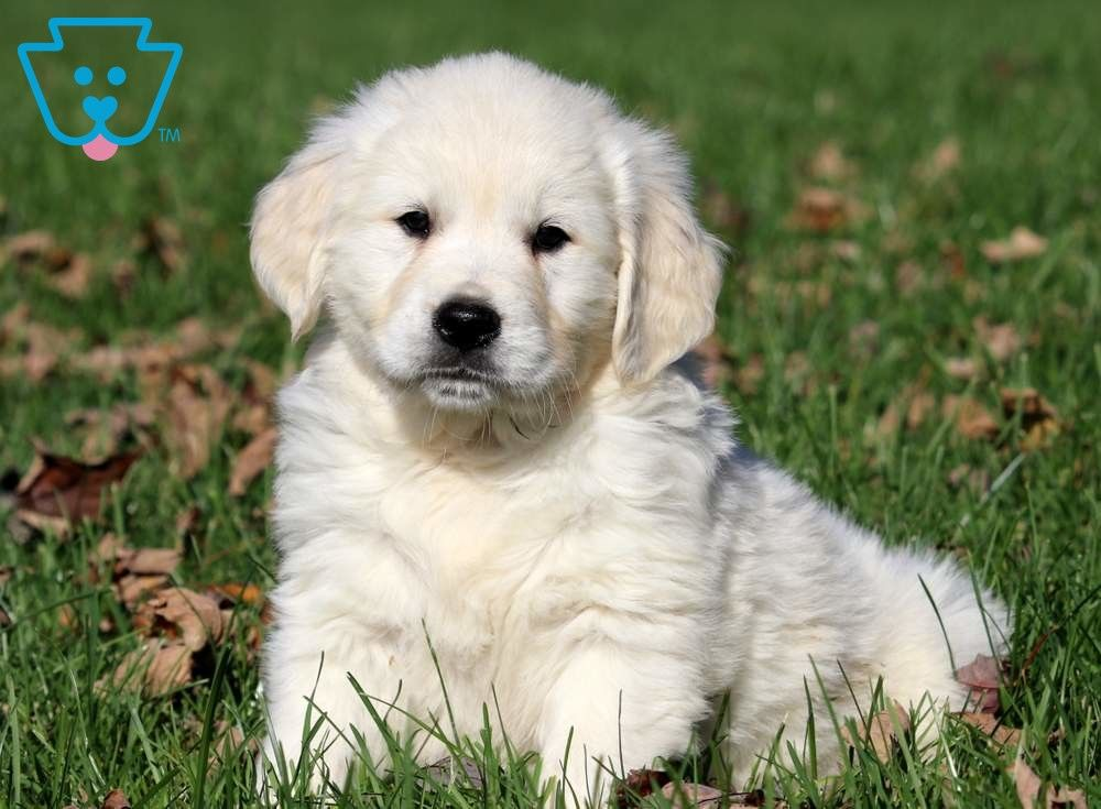 Tinkerbell Golden Retriever English Cream Puppy For Sale Keystone Puppies Golden Retriever Retriever Dogs Golden Retriever