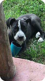 Pictures of Daisy a Boxer/Labrador Retriever Mix for