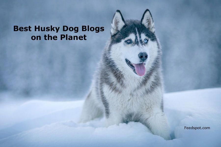 Siberian Husky Puppy Siberian Husky Dogs Siberian Husky Dog
