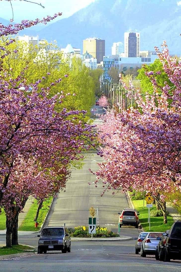 15 Amazing Places To See Cherry Blossoms In The World Places To See Cherry Blossom Festival Cherry Blossom