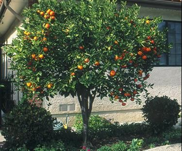 Satsuma Dwarf Mandarin Google Search Backyard Plants