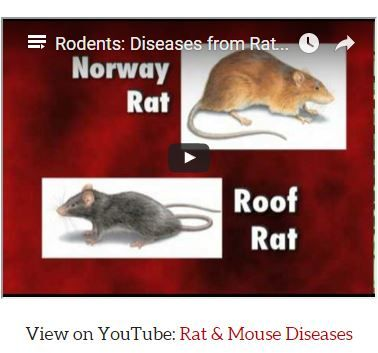Orkin S Video On Rats And Mice And The Diseases They Carry Orkin Pest Control Pest Control Rodents