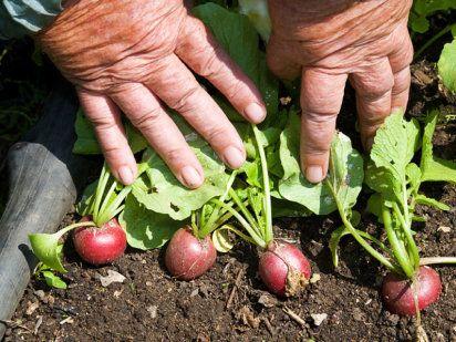 El cultivo del rábano | Cuidar de tus plantas es facilisimo.com