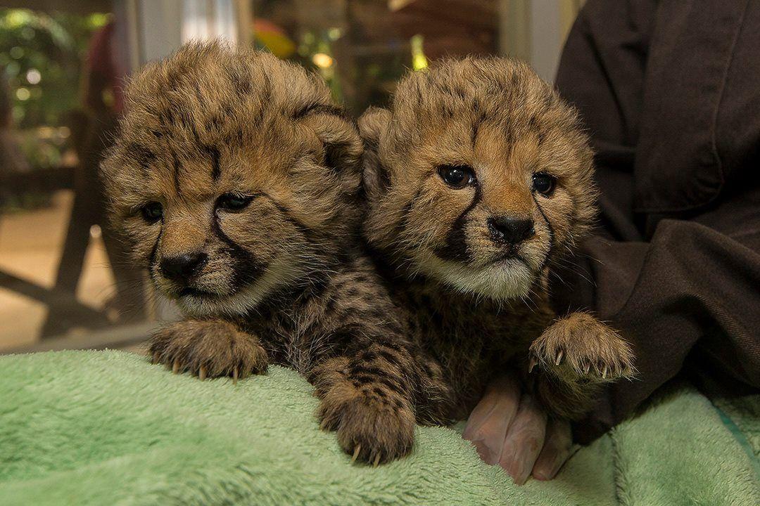 The San Diego Zoo Baby Cheetah Ambassadors Into