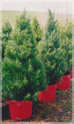 Live potted Christmas trees — Merlino's Christmas Trees (With images) | Potted christmas trees ...