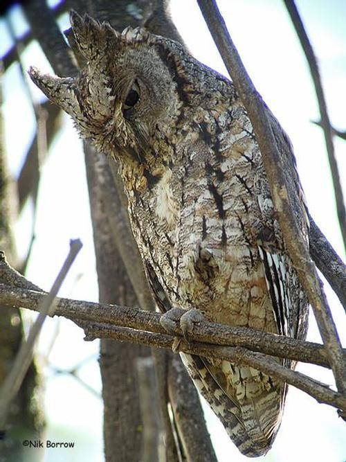 african scops owl kenya close up and personal views of an african