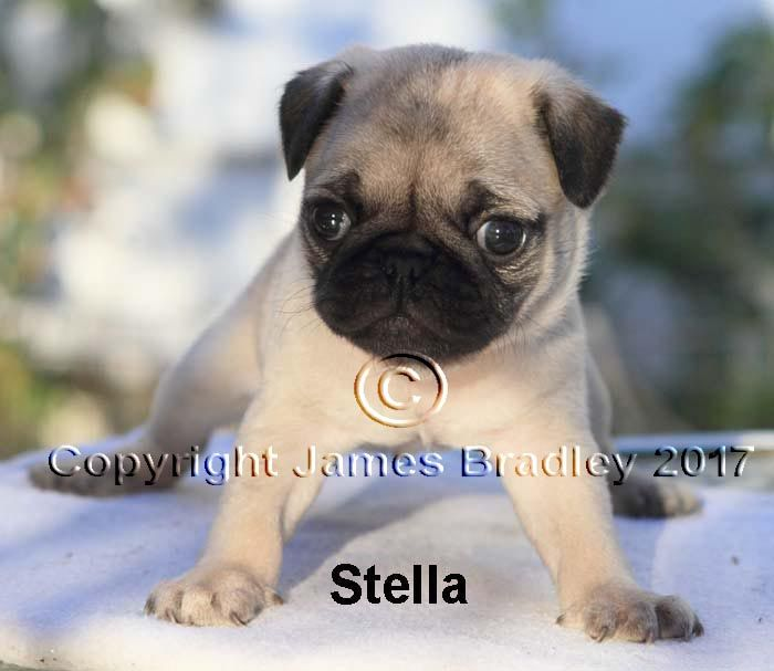 Pug Puppy For Sale In Portland Or Adn 46872 On Puppyfinder Com