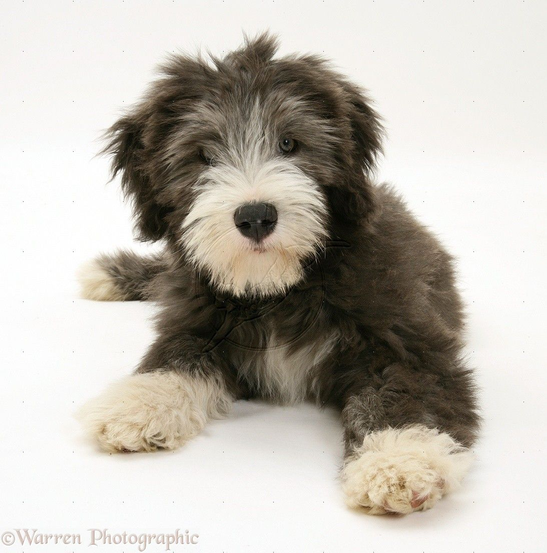 Blue Bearded Collie pup, Misty, 3 months old. http//www