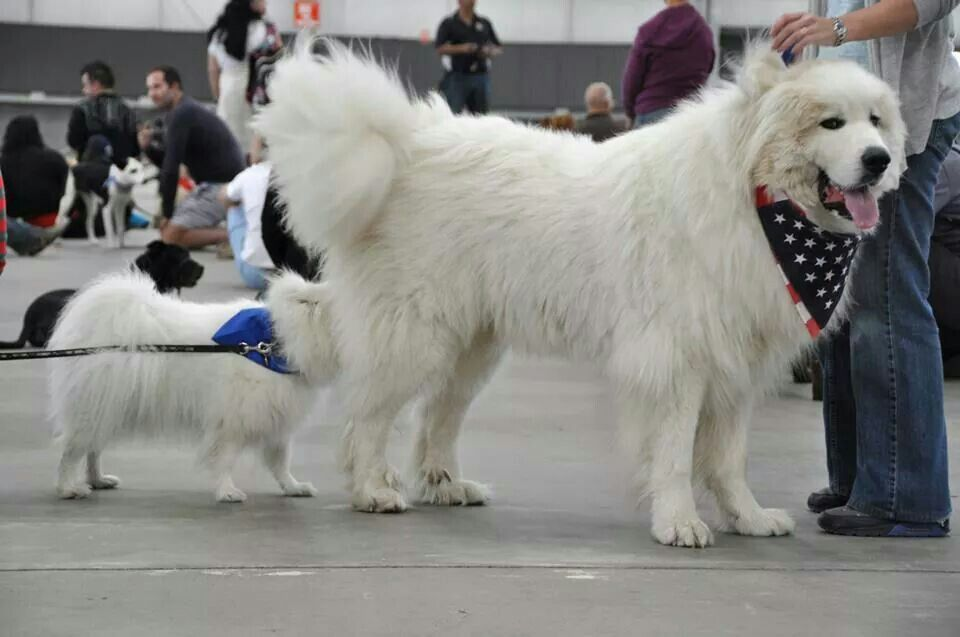Great Pyrenees Great Pyrenees Dog Great Pyrenees Really Big Dogs