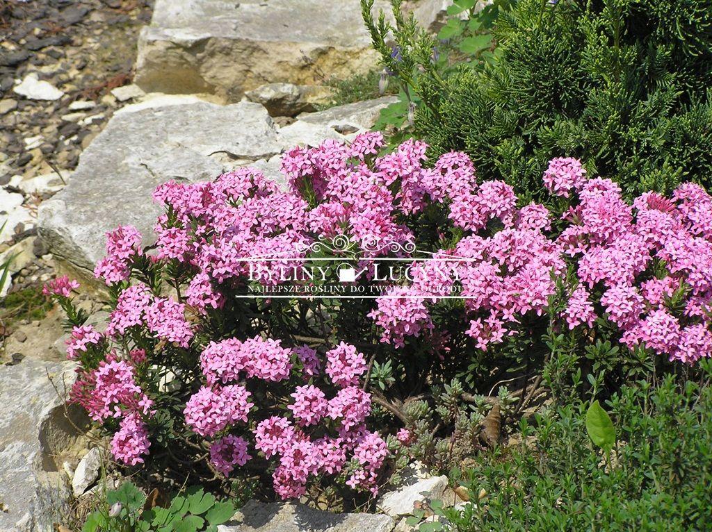 Byliny Lucyny Plants