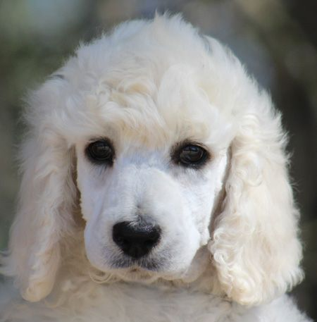 002 Phoenix S White Pink Polish Female White Standard Poodle