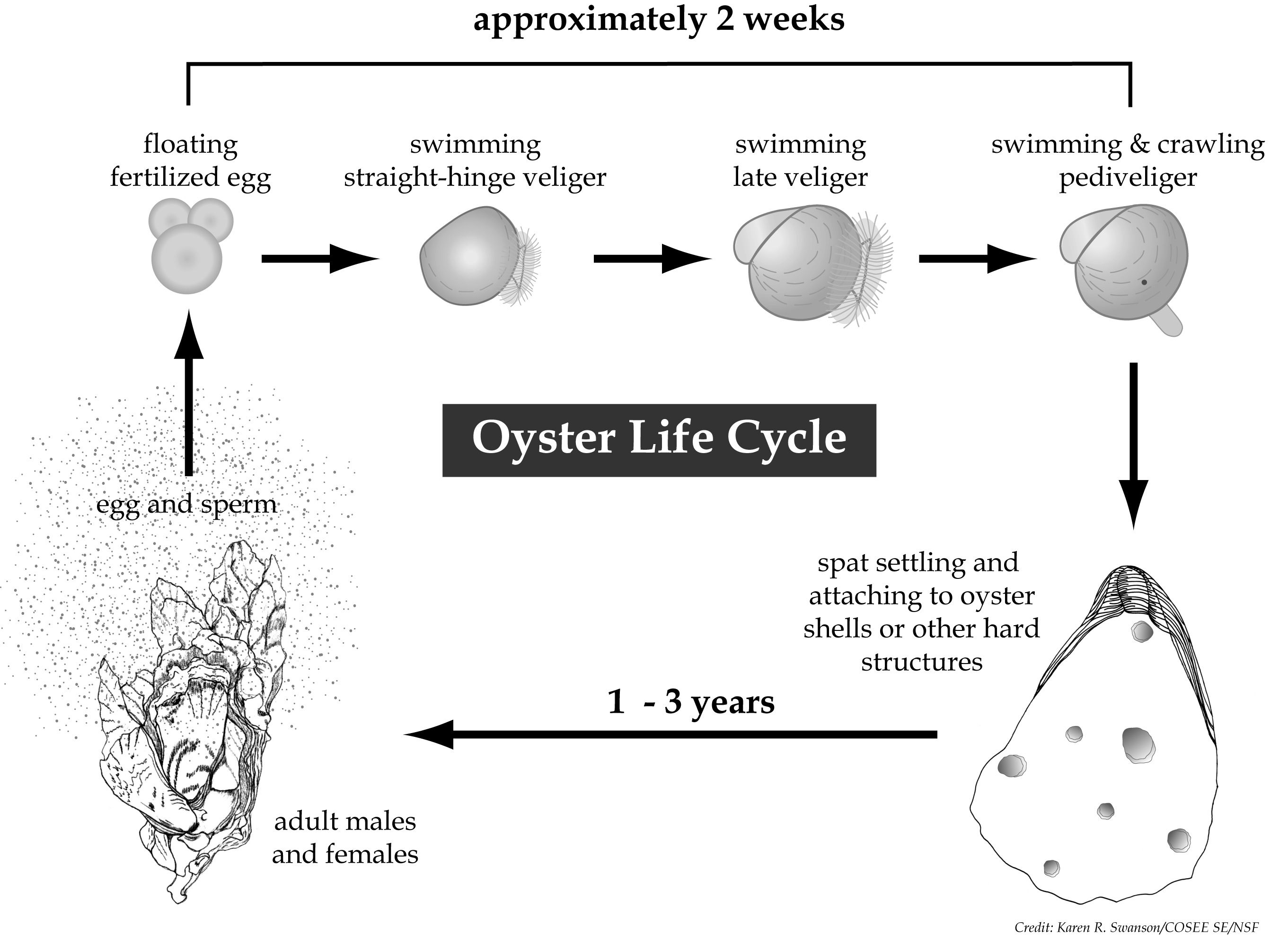 clam diagram labeled kubota bx2200 wiring figure of the oyster life cycle from egg to veliger larva