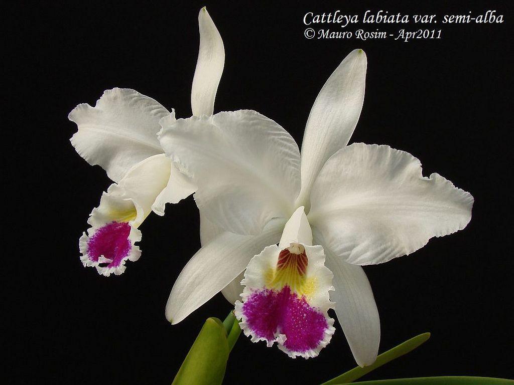 Cattleya Labiata Var Semi Alba Flickr Photo Sharing