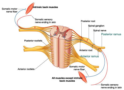 Figure 4 Basic Organization Of A Spinal Nerve School Pinterest