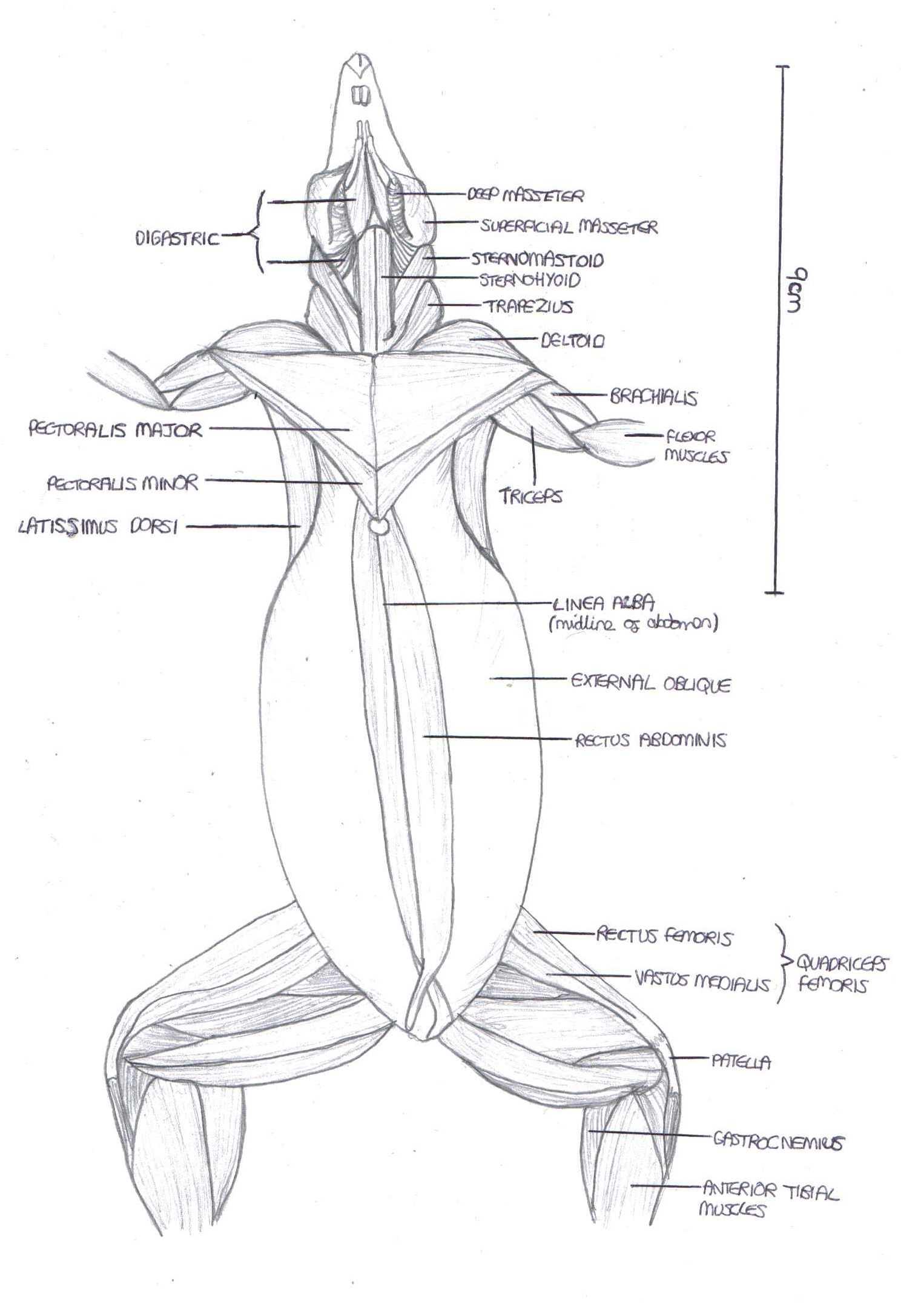 Anatomy of rat musculature, ventral view. | Zoology, Rats ...