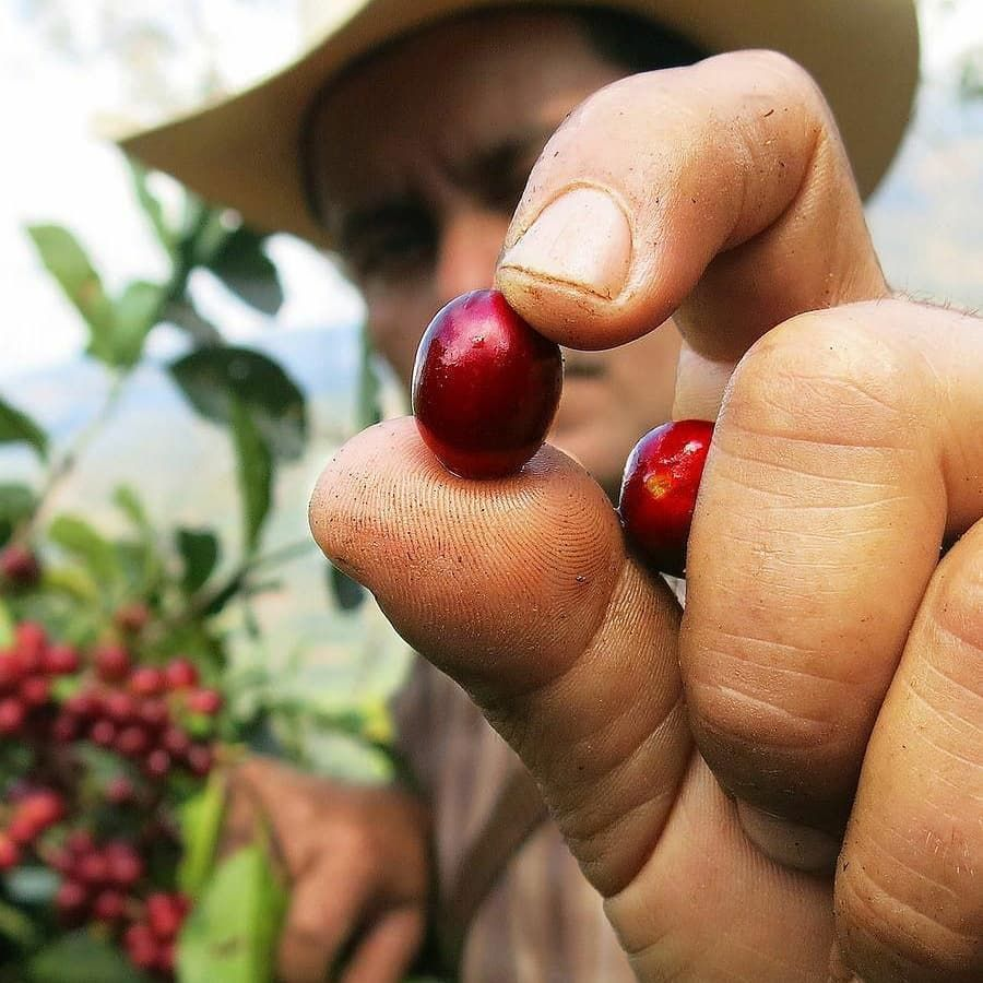 where does coffee come from Coffee farm, Coffee plant