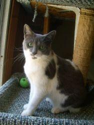 Adopt Bluebeard On Grey And White Cat Animals Cat Adoption