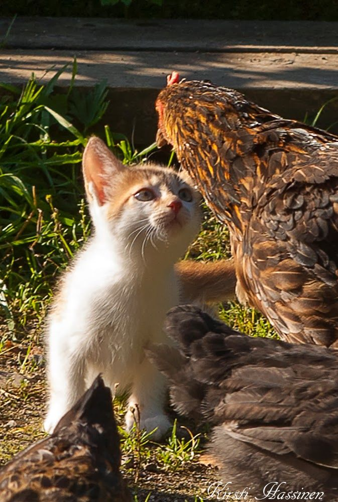 "* * KITTEN: "" Ups close, I kin seez yer a chicken. But at first yoo looked likes an alligator or tree stump. """
