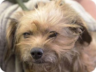 Pictures Of Vivian A Dachshund X2f Brussels Griffon Mix For