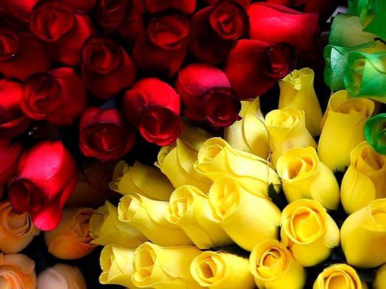 rosas amarillas rosas rojas rosas hermosas para flores preciosas vamos versailles flores amarillas comentario