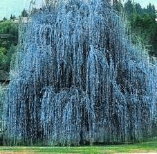 Blue Willow Tree Backyards Porches Patios Landscaping Blues Plants