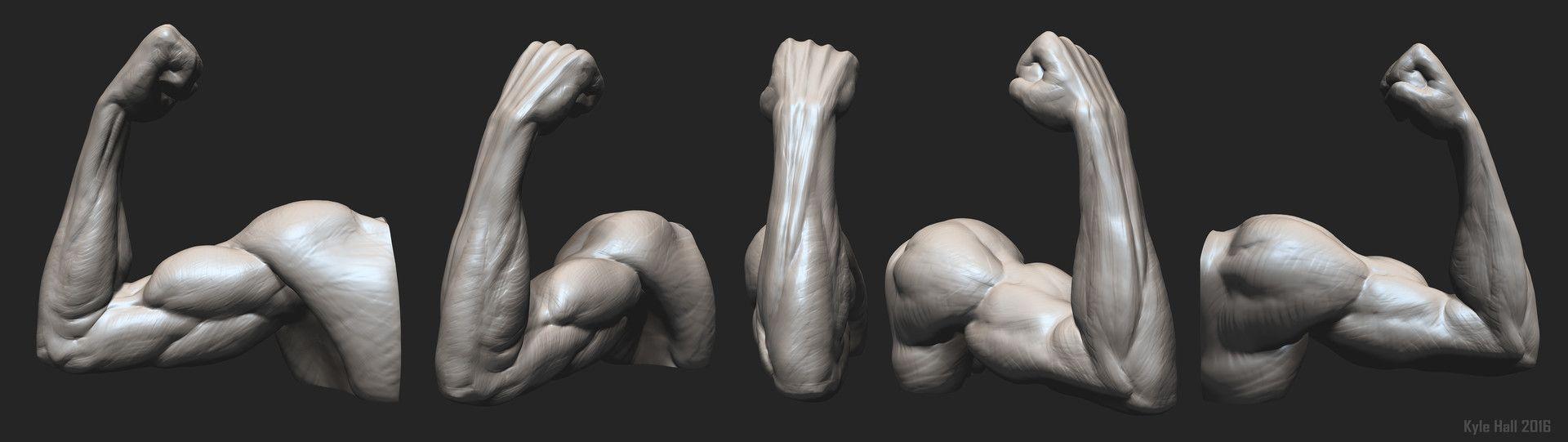 ArtStation - Arm Anatomy Study - Flexed Supinated, Kyle Hall