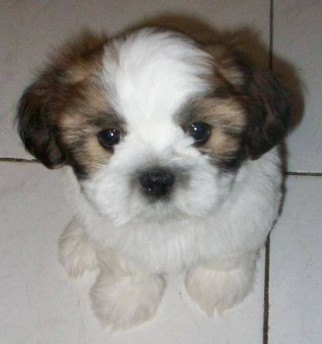 Shih Tzu Puppy Shih Tzu Puppy Puppies And Kitties Shih Tzu