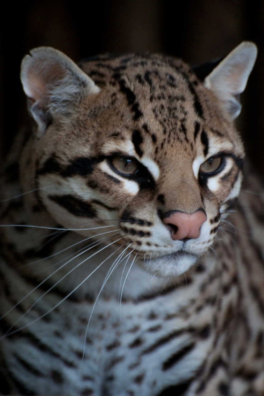 WILD CAT BREEDS Ocelot Portrait Gats cats gatos