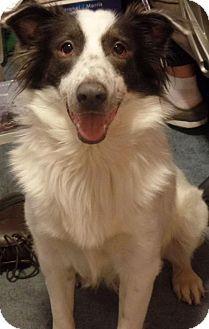 Evansville In Border Collie Meet Harvey A Dog For Adoption Dog Adoption Puppy Adoption Kitten Adoption
