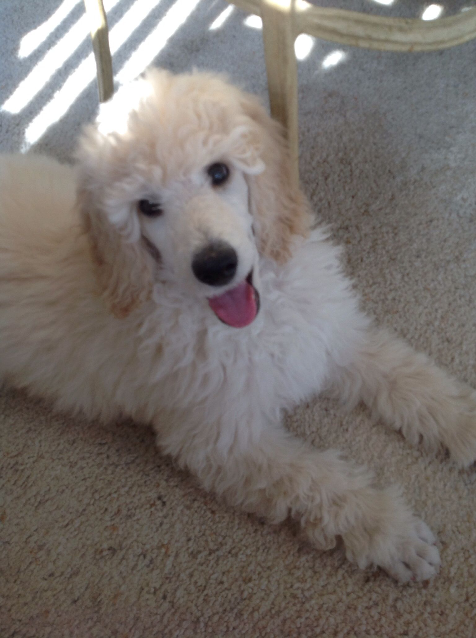 Mister Jr Is A Happy Puppy White Standard Poodle 11 Weeks Old