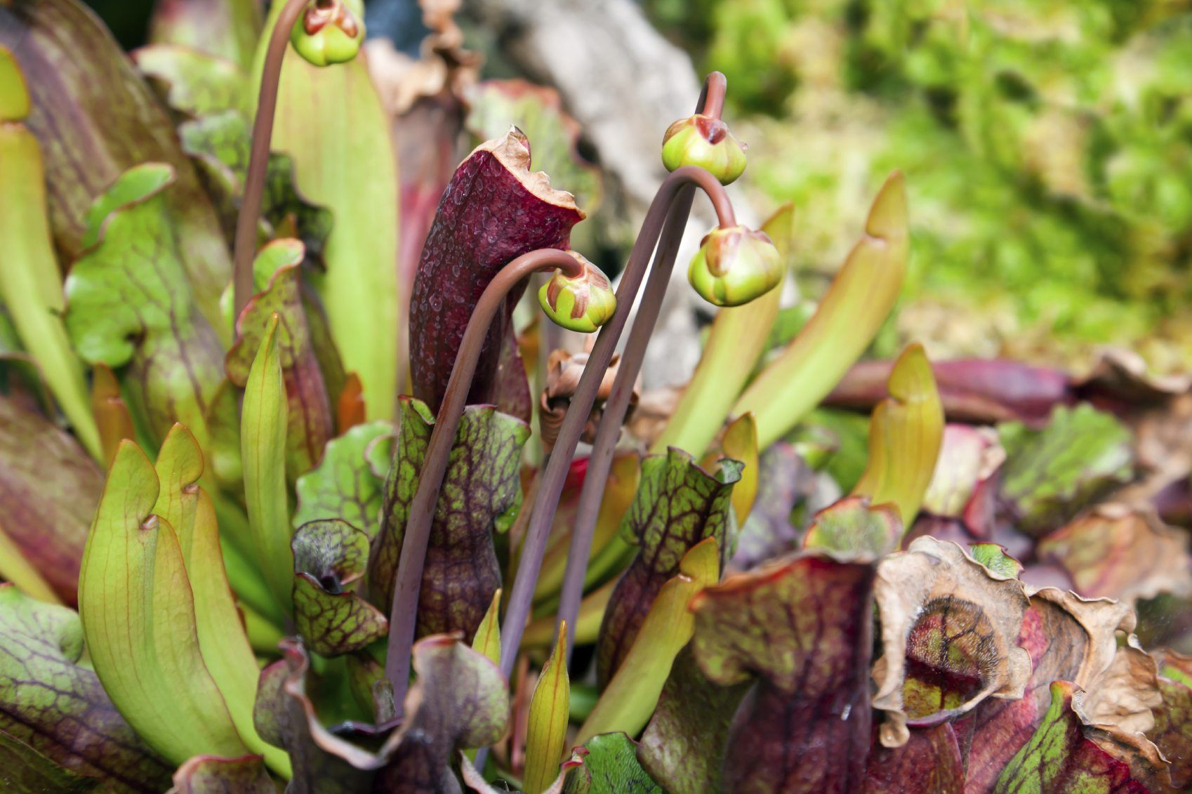 Pitcher Plants Do Not Require Much Maintenance, But Pruning
