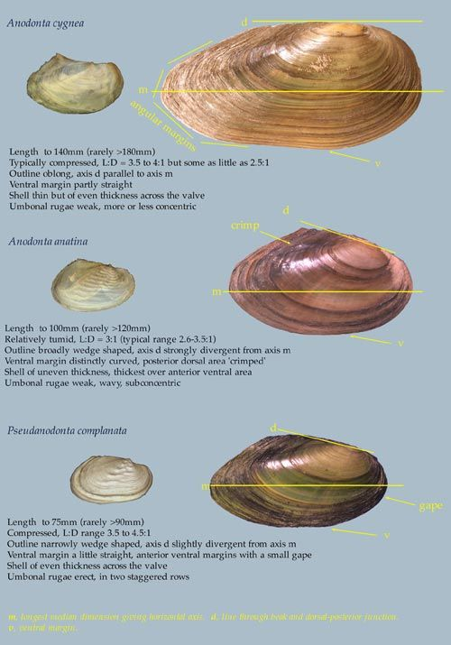 Exelent Freshwater Mussel Anatomy Photo - Anatomy And Physiology ...