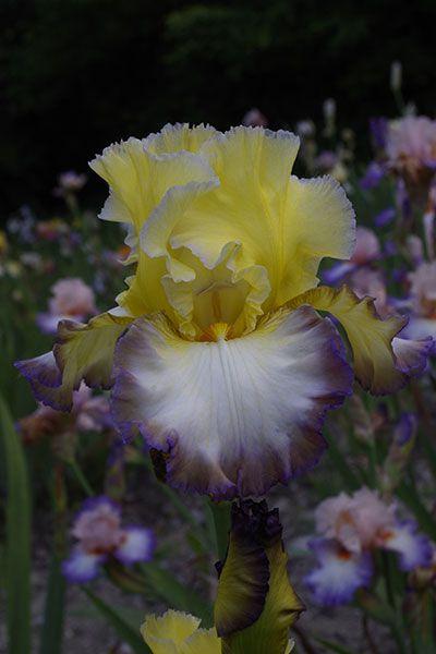 Tb Iris Taharo Augusto Bianco 2017 Bearded Iris Iris Nature Garden