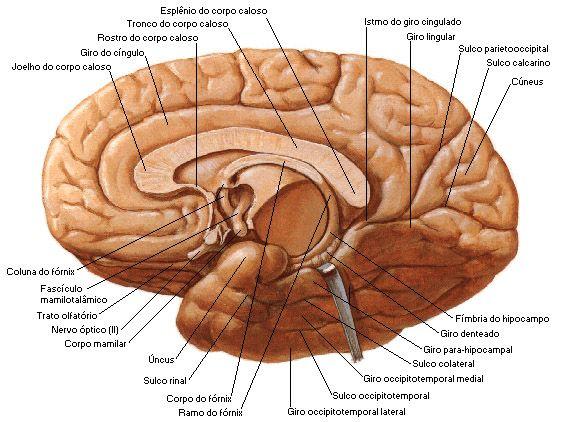 Aula de Anatomia | Telencéfalo | anatomia | Pinterest | Anatomía ...