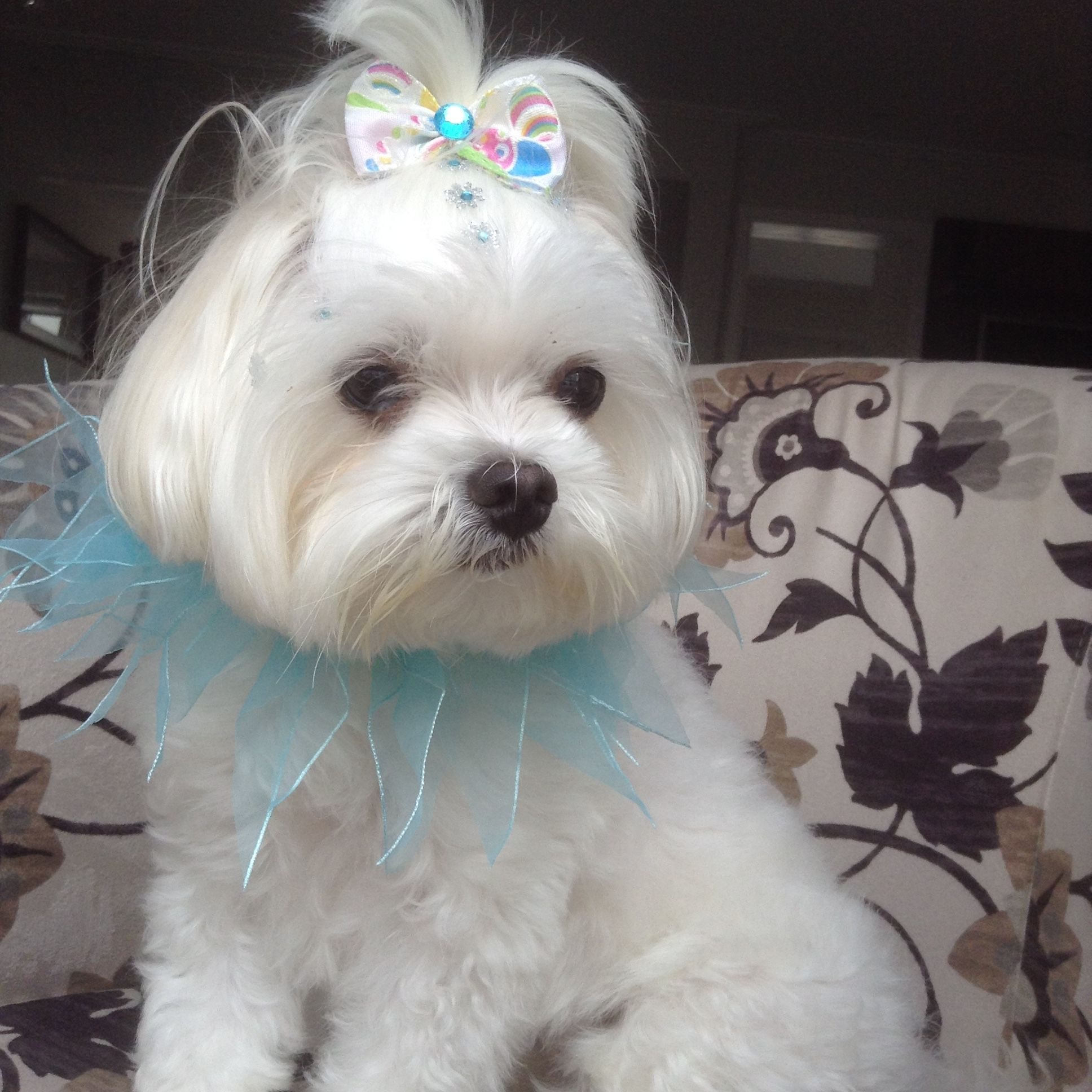 Nina Pronta Pro Carnaval Maltese Maltese Dogs Maltese Puppy