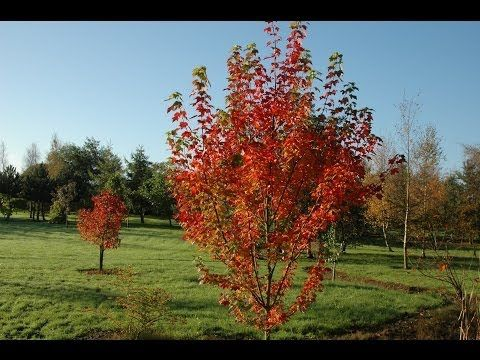 Bluebell Nursery Trees Shrubs Acer Rubrum Brandywine