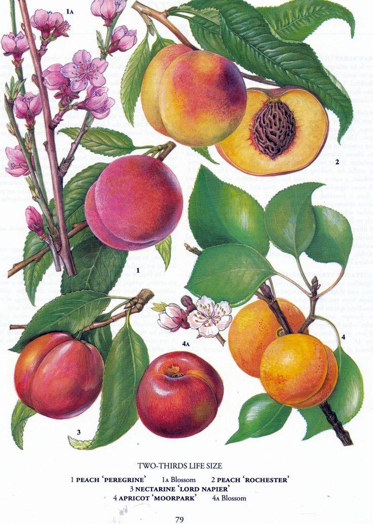 Melocotones Ilustracion Botanica Vintage Ilustracion Botanica Vintage Ilustracion De Botanica Grabados Botanicos